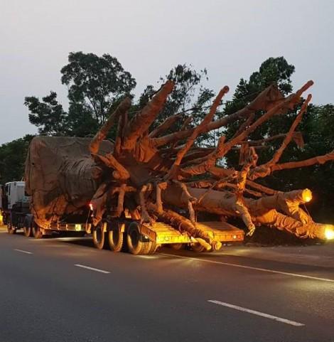 Bắt 3 xe chở cây khủng như 'quái thú' trên Quốc lộ 1A gây xôn xao dư luận