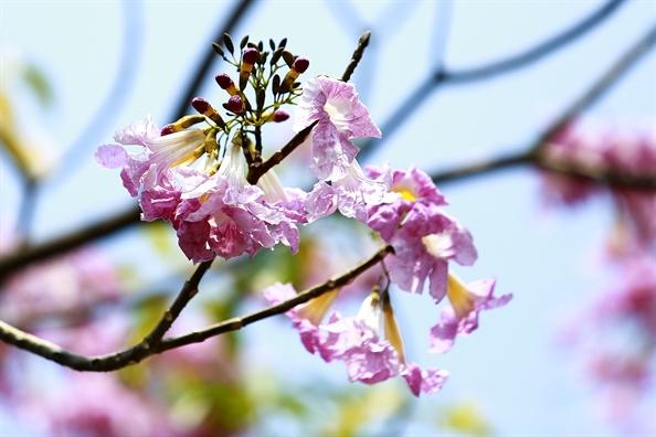 Sai Gon nen tho voi duong hoa ken hong trong nang thang 4