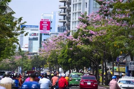 Sài Gòn nên thơ với đường hoa kèn hồng trong nắng tháng 4
