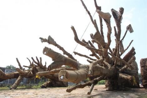 Triệu tập 'chủ nhân' 3 gốc cây cổ thụ quái thú bỏ lại bên quốc lộ