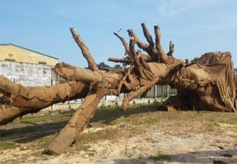 Thông tin bất ngờ về 3 cây cổ thụ 'quái thú' gây xôn xao dư luận