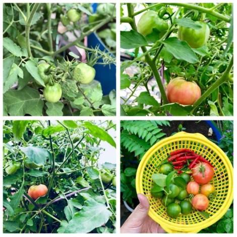 Vườn rau trên sân thượng xanh mê mẩn của bà mẹ hai con tại Sài Gòn