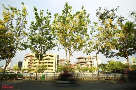 Hoa Osaka khoe sắc vàng khắp các tuyến đường ở Sài Gòn