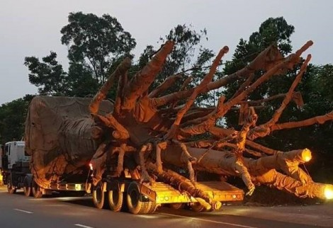 Vụ 3 cây 'khủng' đi qua Đắk Lắk: Không bị phát hiện vì... lực lượng mỏng