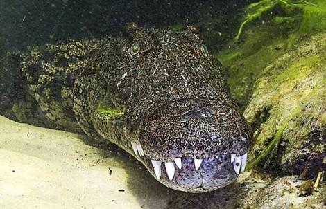 Trả 156 triệu đồng để bơi cùng cá sấu khổng lồ
