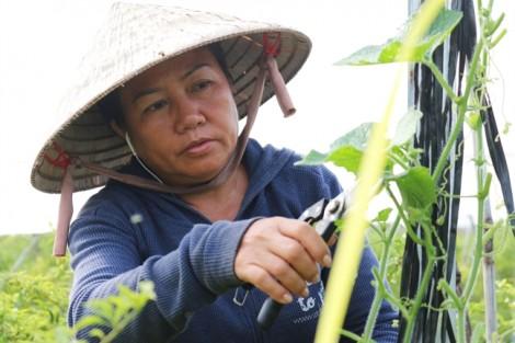 Cận cảnh vườn ớt thu về hơn 500 triệu/tháng của nữ chủ nông Củ Chi
