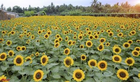 13.000 cây hoa hướng dương Nhật Bản tỏa sắc rực rỡ ở Mỹ Tho