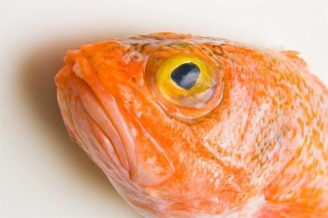 Các loại cá dễ nhiễm độc do con người tàn phá môi trường nước