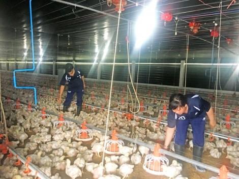 Trại gà được người Nhật đặt mua gần triệu con mỗi tháng