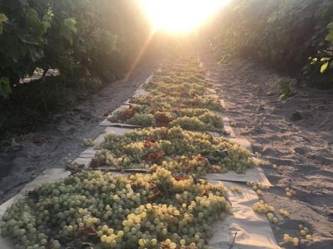 Nho khô bang California và những giá trị dinh dưỡng tuyệt vời