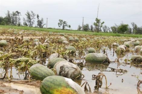 Bò ăn không xuể, nông dân để dưa hấu thối rữa đầy ruộng sau mưa lũ