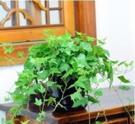 6 loại cây giúp bảo vệ sức khỏe gia chủ khi trồng trong nhà