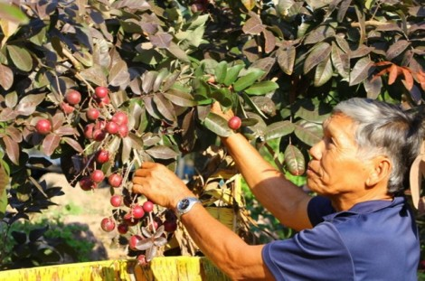 Nhà vườn từ chối thương lái ngoại, dành nhãn tím phục vụ khách Việt