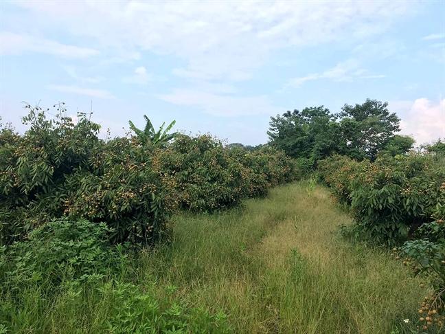Vuon nhan, chuoi rong hon 3.500m2 o Ha Noi bi ke la san phang
