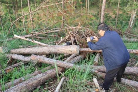 Rừng thông 4ha bị tàn phá cách UBND xã 800m, hơn năm sau chính quyền mới biết