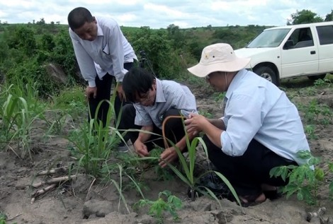 Hàng trăm ha sắn ở Phú Yên nhiễm bệnh lạ từ... Tây Ninh