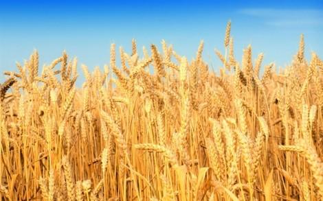 Văn bản 'cấm nhập lúa mì' khiến doanh nghiệp hoảng loạn