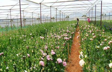 Giá hoa hồng dịp 20/10 có thể tăng gấp năm lần do Đà Lạt mất mùa