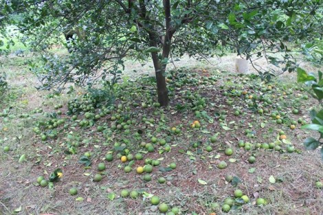 Cam Vinh rụng vàng gốc, người dân xót xa đốt ủ làm phân bón