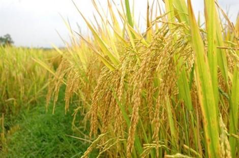 Công bố logo thương hiệu gạo Việt Nam tại festival lúa gạo sắp tới
