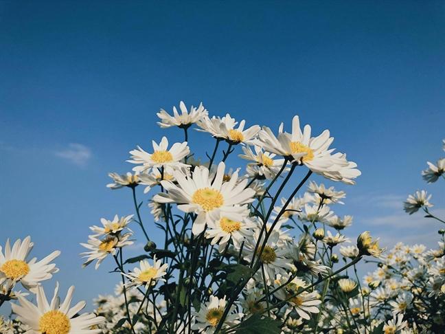 Vao mua cuc hoa mi, nguoi trong hoa thu tien trieu moi ngay