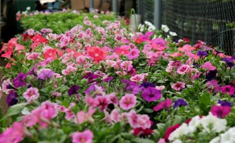 Người miền Tây cứu hoa kiểng kịp bán mùa tết