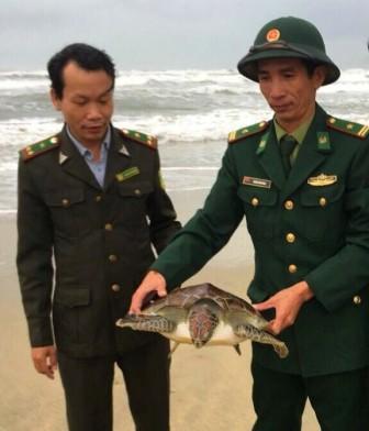 Thả cá thể rùa biển họ vích quý hiếm về đại dương