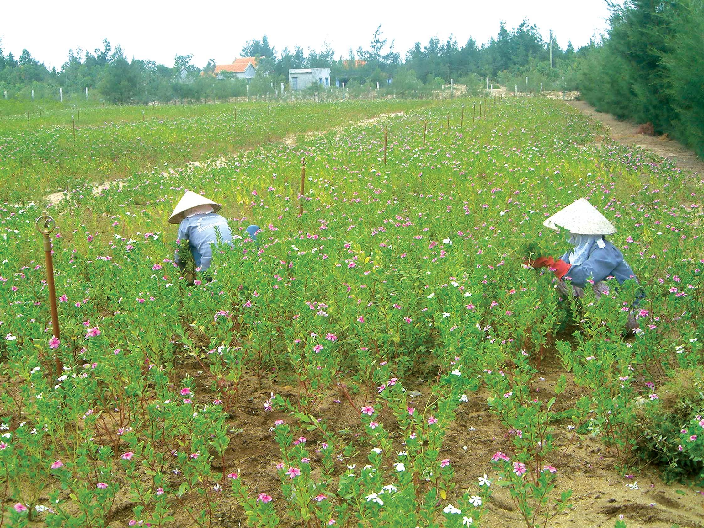 Nông dân Phú Yên đang thu hoạch cây dừa cạn xuất sang Pháp sản xuất thuốc chữa ung thư