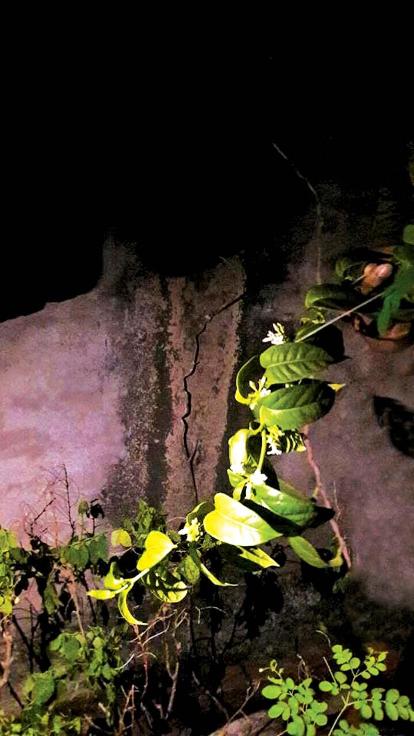 Cây cam thảo Đá Bia lần đầu tiên được kỹ sư Tuyết Anh phát hiện dưới chân đèo Cả