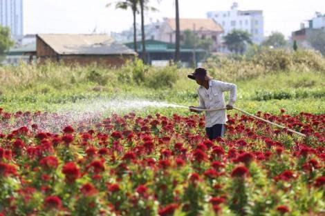 Nông dân Sài Gòn tất bật chăm sóc hoa cho thị trường tết