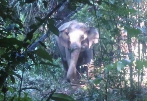 Người đàn ông bị voi rừng quật chết khi vào rừng tìm bò