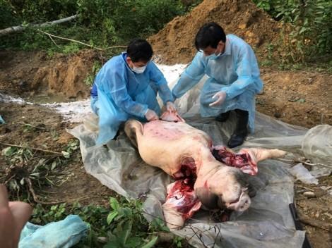 Xuất hiện dịch tả lợn châu Phi ở Huế, người dân lo lắng, người nuôi lo bị ép giá