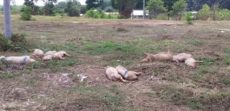 Chính quyền thông báo đã tiêu hủy heo bệnh, bãi chôn lấp lộ ra chân heo