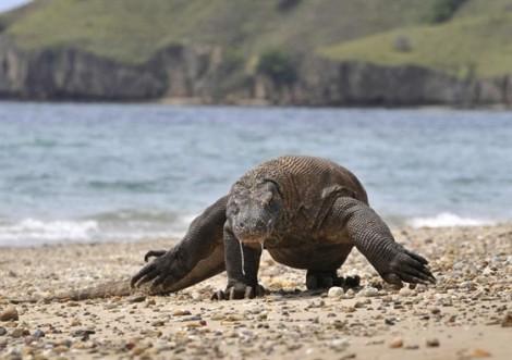 Indonesia chuẩn bị đóng cửa đảo Komodo nhằm bảo vệ loài rồng đất quý hiếm