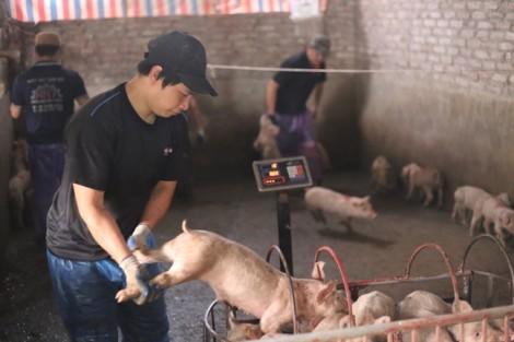 Bán đàn lợn 300 con, tốn 15 triệu đồng tiền xét nghiệm