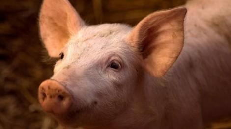 Não lợn 'hồi sinh' 4 giờ sau khi chết' và ý nghĩa đặc biệt của phát hiện này