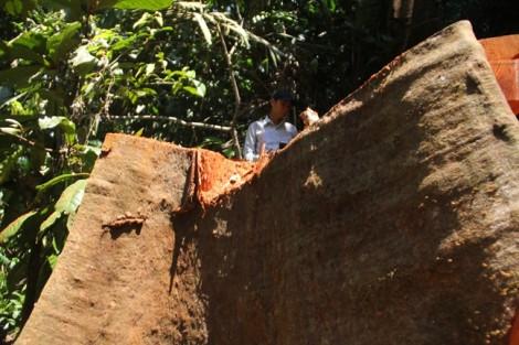 Vụ phá rừng tại Trà Leng, Quảng Nam: Hoàn tất hồ sơ để khởi tố vụ án