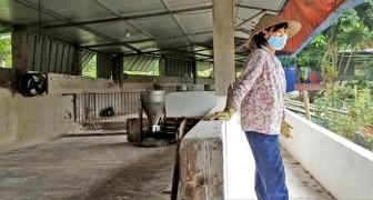 Dịch tả châu Phi quét sạch các trại heo