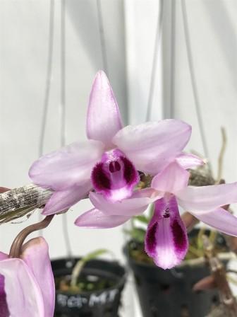 Rùng rùng như đi lùng lan đột biến - Bài 1: Những mầm phong lan bạc tỷ