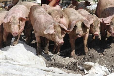 Chính quyền cấm bán thịt heo, cả trăm sạp thất nghiệp