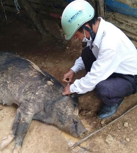 Nghệ An tiêu hủy gần 50 tấn heo nhiễm dịch tả châu Phi