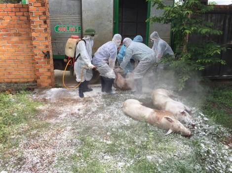 Đắk Lắk: Tiêu hủy một ổ dịch tả heo châu Phi