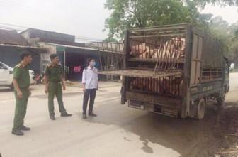 Tiêu hủy 160 con heo nghi nhiễm dịch tả châu Phi đang trên đường đi tiêu thụ
