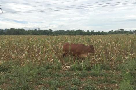 Ngô trổ 5 bông nhưng không có hạt, dân nuốt đắng thả trâu bò ra ăn