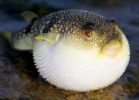 Biết cá nóc mít rất độc nên người đàn ông chỉ ăn 3 con và... suýt chết