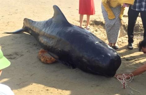 Cá voi gần 1 tấn chết, trôi dạt vào bờ biển Hà Tĩnh