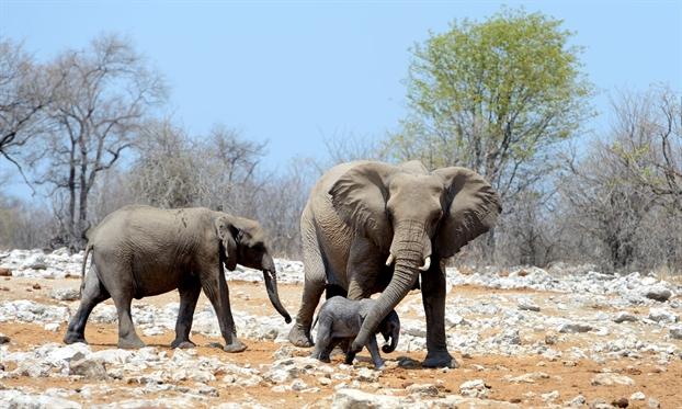 Namibia ban dau gia thu hoang chay han han