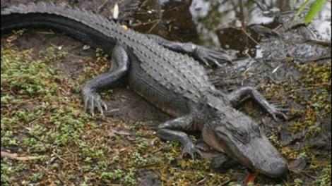 Cá sấu ăn thịt bé gái 2 tuổi ngã xuống hồ nuôi