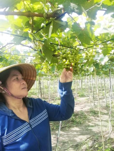 Cây nho Ninh Thuận đã ra hoa, kết trái trên đất Tây Ninh nắng gió