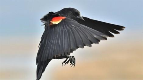 Tại sao chim trời tấn công con người ngày càng nhiều?